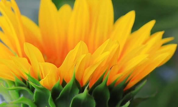 Shari Jardina - Sunflower Profile