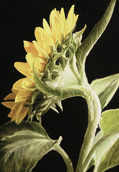 Sunflower Profile by Thomas Darnell