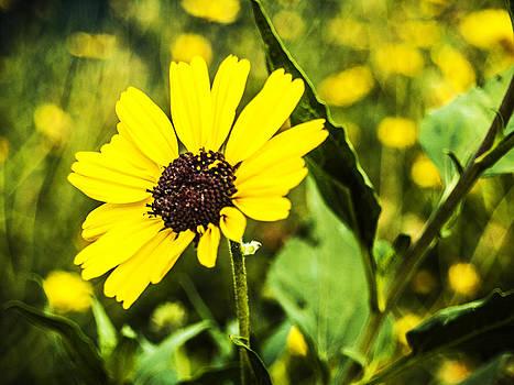 Sunflower by Raymond Mendez