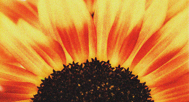 Sunflower Rise by Ari Jacobs