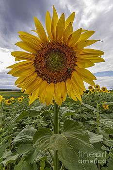 Sunflower by Robert Wirth