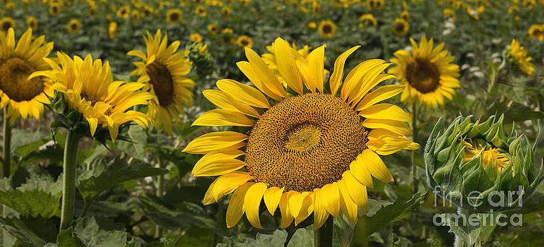 Barbara McMahon - Sunflower Sentries