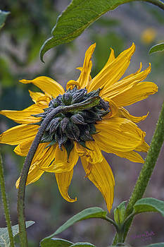 Sunflower by Sharon Beth