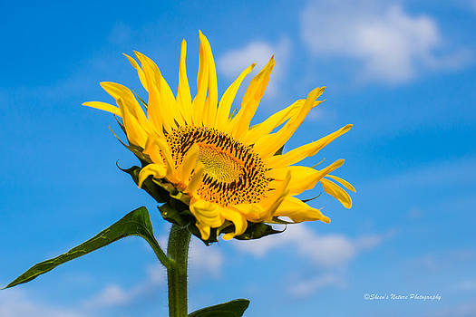 Sunflower Sky by Sheen Watkins