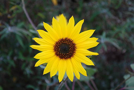 Sunflower by Steve Masley