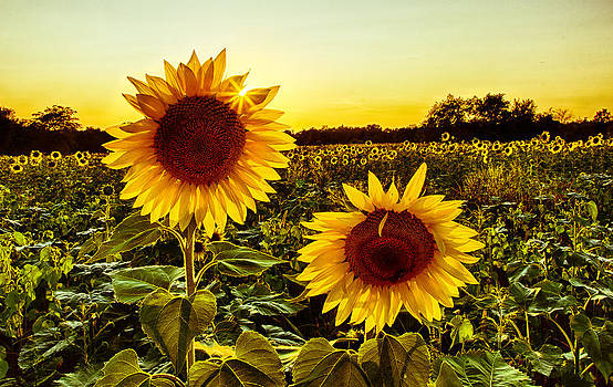 Sunflower Sunburst by Christopher L Nelson