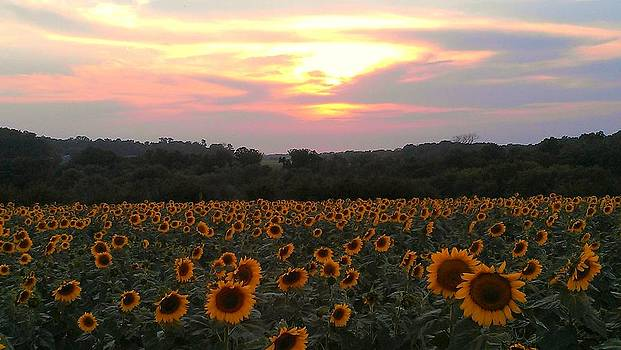 Sunflower Sunset by Dawn Vagts
