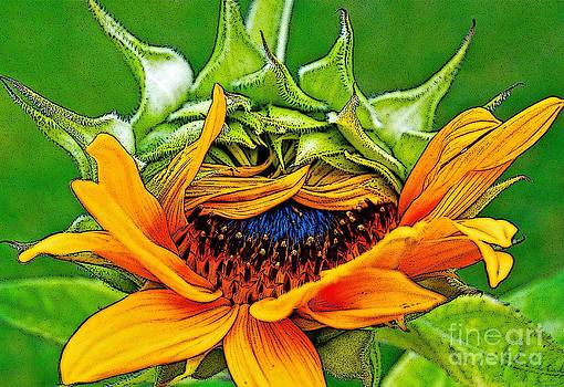 Gwyn Newcombe - Sunflower Volunteer Half Bloom