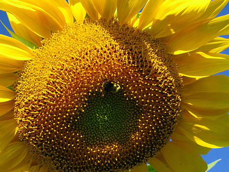 Sunflower with Bee by April K Rabino