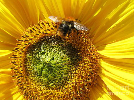 Sunflower With Bee by Jeepee Aero