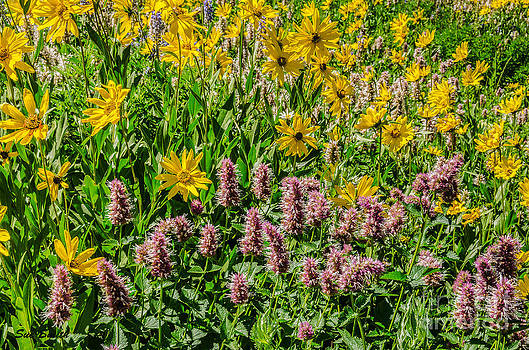 Sunflowers and Horsemint by Sue Smith