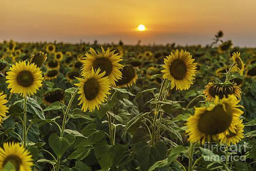 Sunflowers at sunset by Valerii Tkachenko