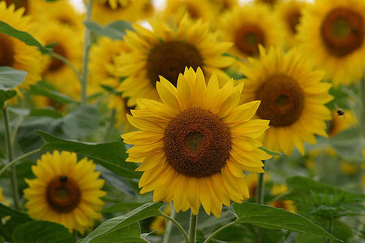 Sunflowers At The Farm by Denyse Duhaime