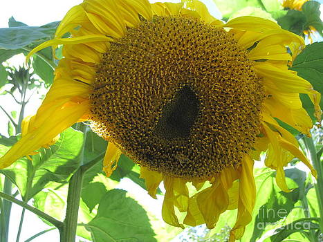 Sunflowers Bee Alaska by Elizabeth Stedman