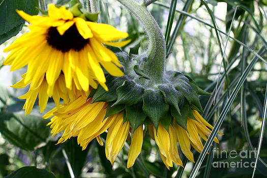 Sunflowers by Denise Pohl