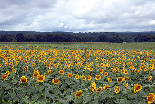 Sunflowers by Donna Desrosiers