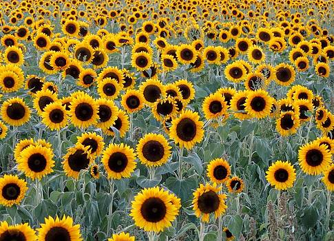 Sunflowers Galore by Beverly Reaume