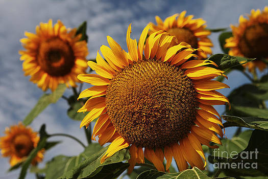 Sunflowers by Guy St-Vincent