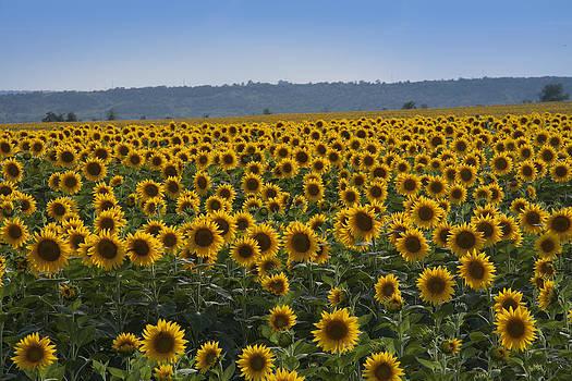 Sunflowers in Ukraine by Yuri Lev