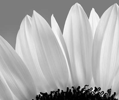 Sunflower's Petals by Mariola Szeliga
