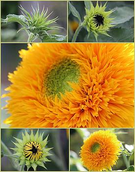 Rosanne Jordan - Sunflowers Stages