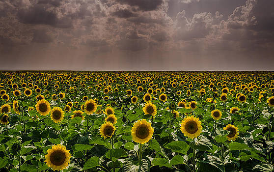 Sunflowers by Vlad Costras