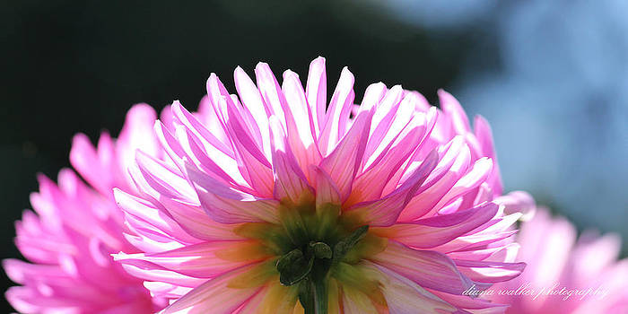 Sunlit Pink Diva by Diana Walker