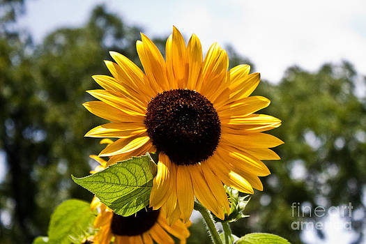 Joann Copeland-Paul - Sunny Sunflower