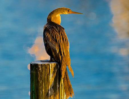 Sunset Cormorant by Jay Campbell