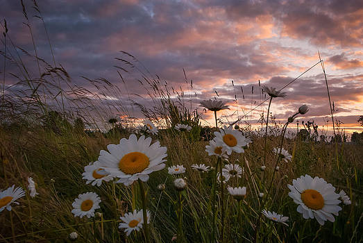 Sunset Daisies  by Michael Trofimov