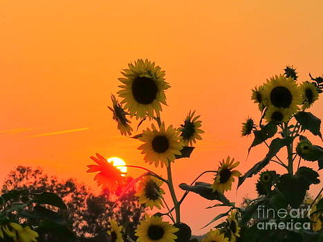 Sunset over Sunflowers by David Lankton
