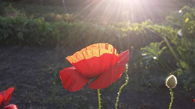 Sunshine on the Poppies by Anne Peters