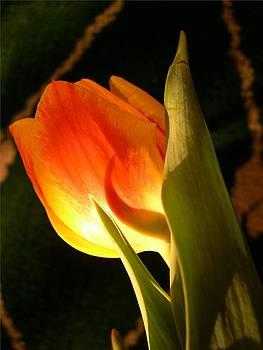 Sunshine Tulip VII by Gilda Pontbriand