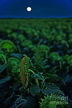Supermoon-lit Sunflower by Betty Morgan