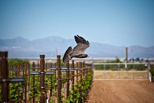 Swainson's Hawk by Swift Family