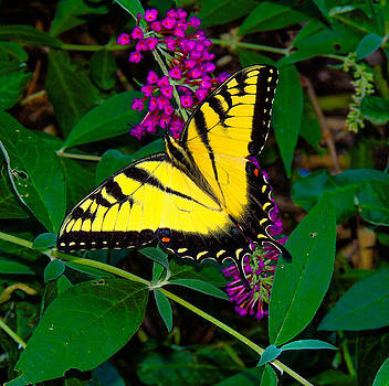 Swallowtail Butterfly by Gordon H Rohrbaugh Jr