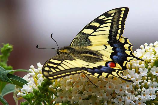 Nick  Biemans - Swallowtail butterfly