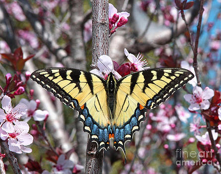 Swallowtail Butterfly by Pam Carter
