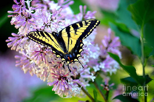 Spring Swallowtail by Jaunine Roberts