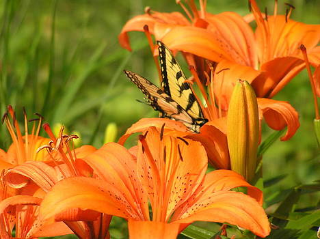 Swallowtail Lily  by Marisa Horn