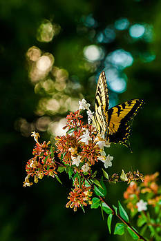 Swallowtail by Roxanna Coeling