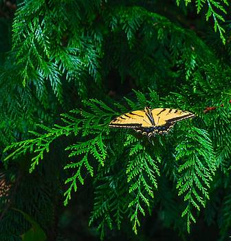 Swallowtail Tiger Butterfly by Michael Dohnalek