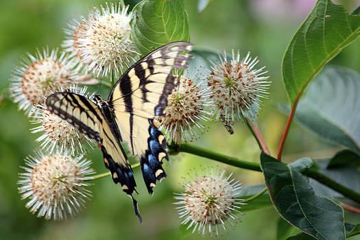 Carolyn Stagger Cokley - Swallowtail9314