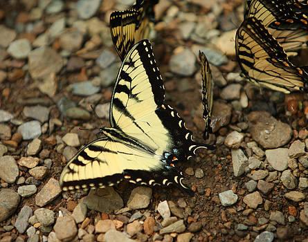 Swallowtails by David Yunker
