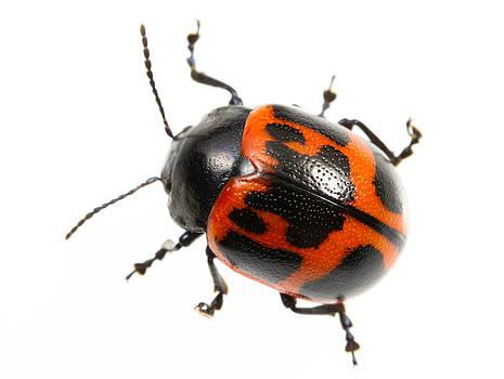 Swamp Milkweed Beetle by JP Lawrence
