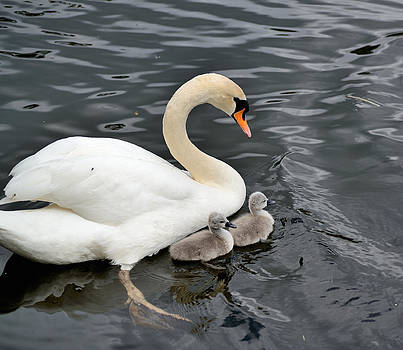 Swan and Cygnets by Kathy King