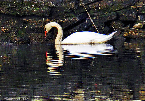 Swan and Reflection by Mikki Cucuzzo