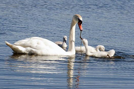 Swan Family by Cheryl Cencich