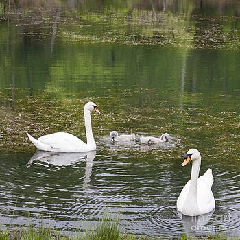 Teresa Mucha - Swan Family Squared