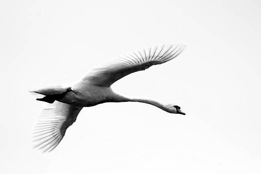Swan in Flight Black and White by Diane Rada